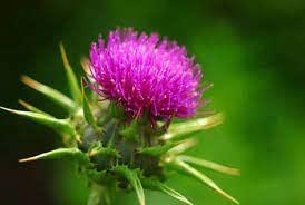 کاهش علائم پسوریازیس با مصرف گیاه خار مریم