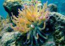 امید به درمان پسوریازیس با دارویی جدید از شقایق دریایی