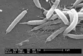 هلیکوباکتر یکی از ارگانیسم های شروع کننده پاسخ التهابی در پسوریازیس