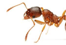 فوری؛ سم مورچه آتشین درمانی برای بیماری پسوریازیس
