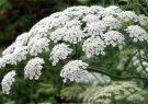 درمان پسوریازیس با سنبل ختایی و دیگر گیاهان دارای پسورالن