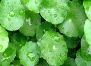 تولید کرمی برای کمک به درمان پسوریازیس با گیاه آببشقابی