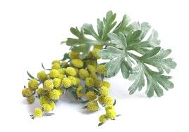 اعمال گیاه خاراگوش یا افسنطین برای مشکل پسوریازیس