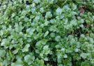 آشنایی با خواص گیاه علف چشمه برای پسوریازیس